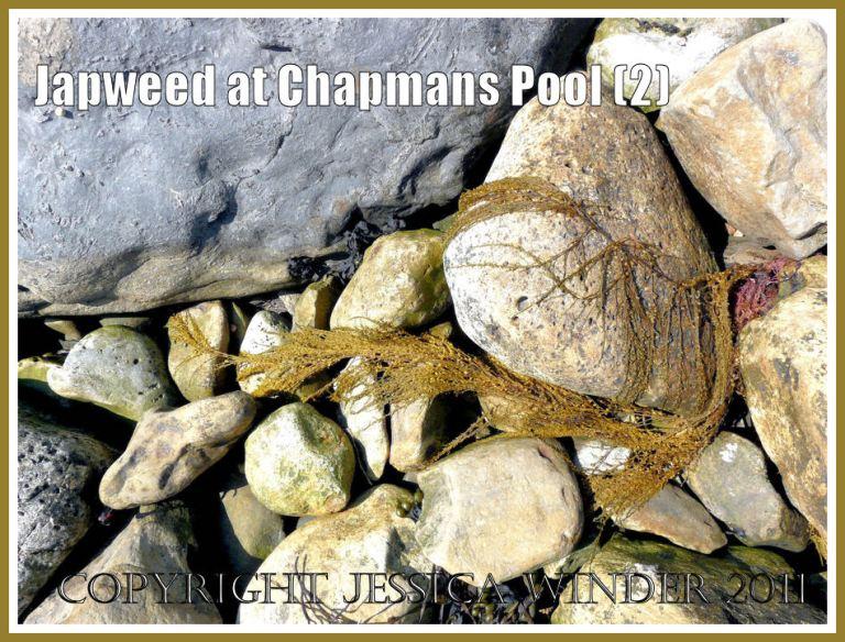 Frond of Japweed, Sargassum muticum (Yendo) Fensholt, washed up on rocks at Chapmans Pool, Dorset, UK - part of the Jurassic Coast.