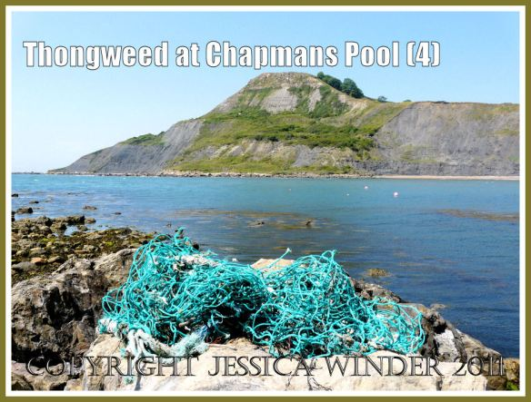 Floating seaweed at Chapmans Pool: View of Thongweed and Japweed growing in deeper water of the lower shore (visible as an offshore brown 'slick' in the sea) at Chapmans Pool, Dorset, UK - part of the Jurassic Coast (4)