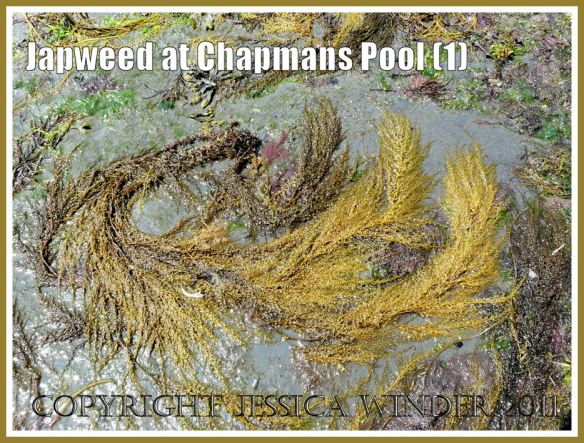 Japweed at Chapmans Pool: Fronds of Japweed, Sargassum muticum (Yendo) Fensholt, washed up on a rock platform at Chapmans Pool, Dorset, UK - part of the Jurassic Coast (1)