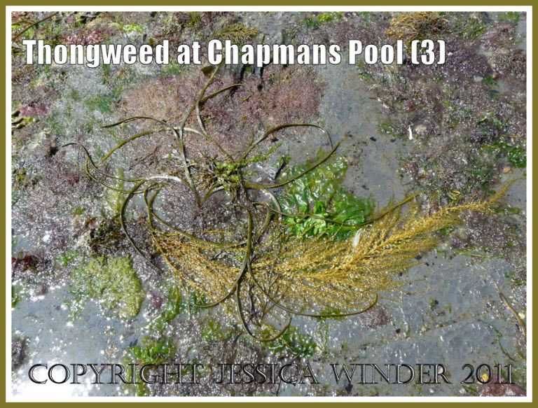 Seaweeds at Chapmans Pool: Long narrow straps of Thongweed with Japweed and other algae stranded on a rock platform at Chapmans Pool, Dorset, UK - part of the Jurassic Coast (3)