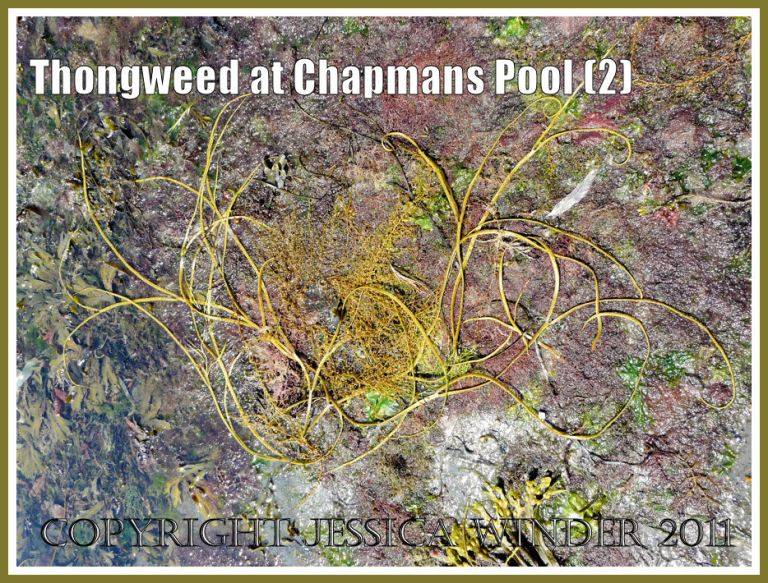 Chapmans Pool seaweeds: Yellow-green Thongweed reproductive ribbons washed up with Japweed and other weeds on a rock platform at Chapmans Pool, Dorset, UK - part of the Jurassic Coast (2)