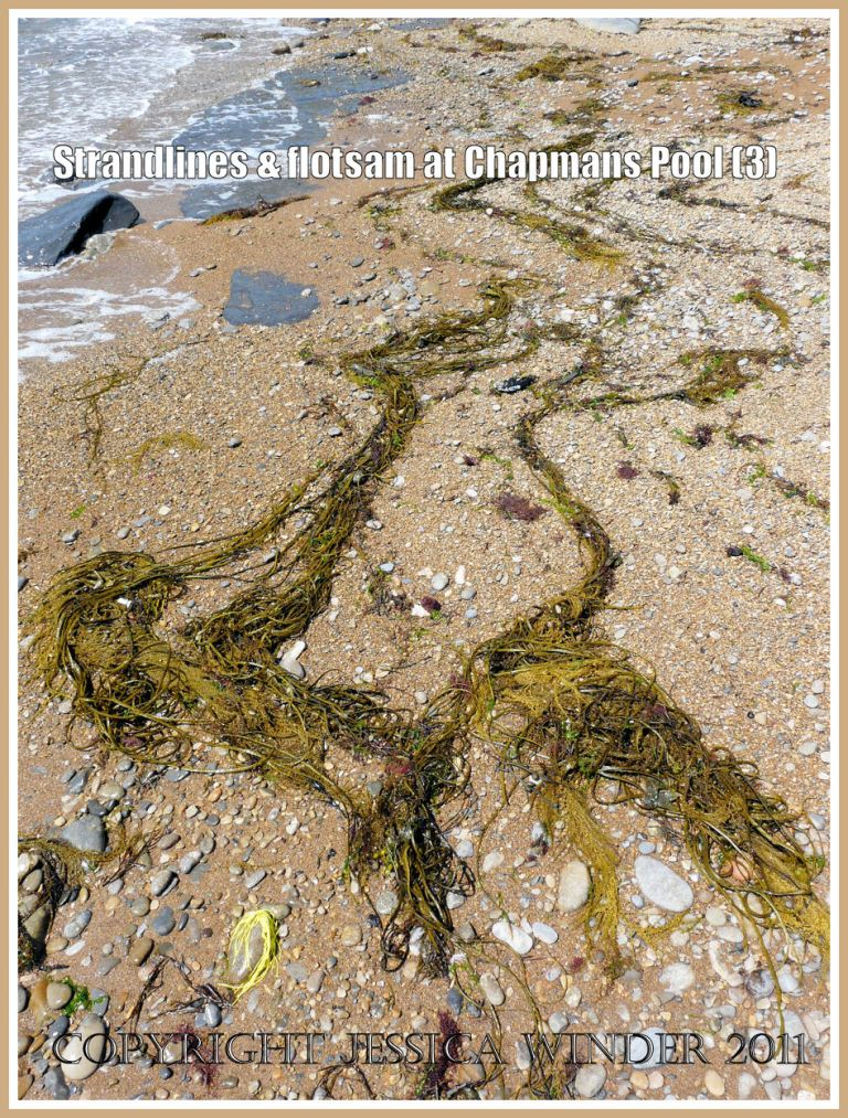 Chapmans Pool strandlines: Winding strands of Japweed and Thong Weed on the eastern shore of Chapmans Pool, Dorset, UK - part of the Jurassic Coast (3)