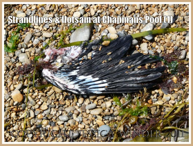 Strandline flotsam at Chapmans pool: Bird's wing on the strandline at Chapmans Pool, Dorset, UK - part of the Jurassic Coast (1)