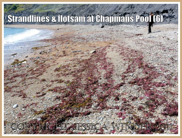 Chapmans Pool red seaweeds: Red seaweeds spread out on the strandline in the north west corner of Chapmans Pool. Dorset, UK - part of the Jurassic Coast (6)