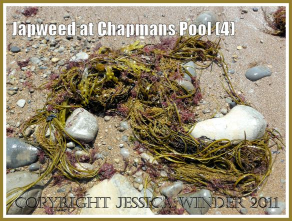 Fronds of Japweed, Sargassum muticum (Yendo) Fensholt, and other seaweeds washed up on the beach at Chapmans Pool, Dorset, UK - part of the Jurassic Coast (4)