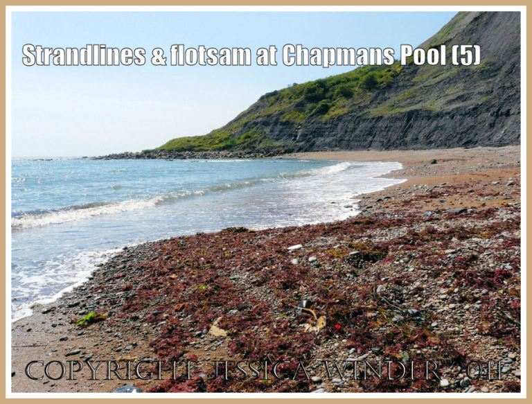 Chapmans Pool strandline seaweeds: Red seaweeds banked up on the north west shore of Chapmans Pool, Dorset, UK - part of Jurassic Coast (5)
