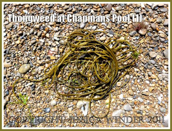 Chapmans Pool seaweeds: Thongweed, Himanthalia elongata (Linnaeus) Gray, on the shingle at Chapmans Pool, Dorset, UK - part of the Jurassic Coast (1)