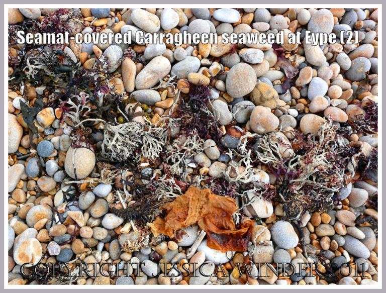 Seaweed on the strandline: A strandline of dried Irish Moss or Carragheen seaweed covered with seamat on the shingle beach at Eype, Dorset, UK - part of the Jurassic Coast (2)