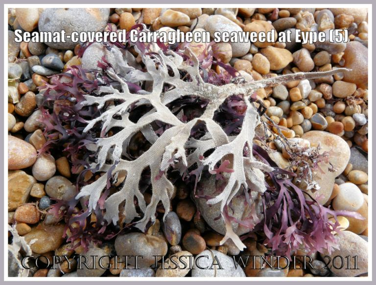 More dried red Irish Moss seaweed covered with white, lace-like colonial Bryozoan seamat on the pebble beach at Eype, Dorset, UK - part of the Jurassic Coast (5)