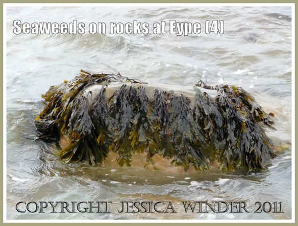 Living Toothed Wrack (Fucus serratus Linnaeus): A rock in the water festooned with bunches of Toothed Wrack at Eype, Dorset, UK - part of the Jurassic Coast (4)