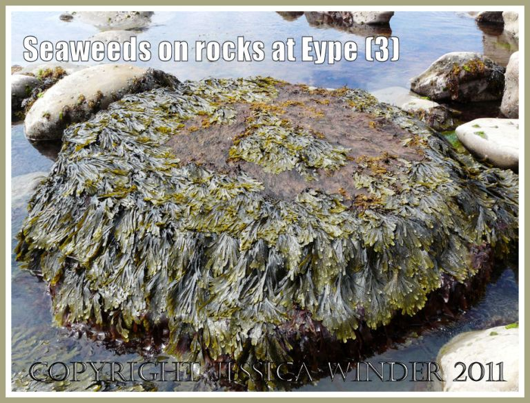Seaweeds growing on rock: A natural arrangement of seaweeds on a circular flat stone at the waters' edge at Eype, Dorset, UK - part of the Jurassic Coast (3)
