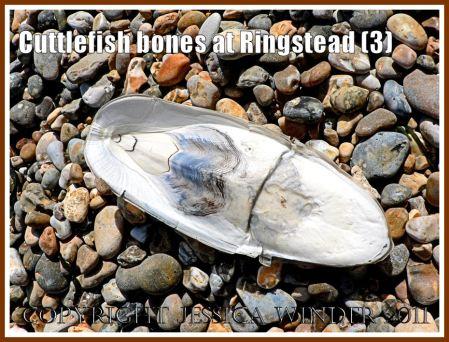 Cuttlebone strange marks: An unusually marked cuttlebone on the strandline at Ringstead Bay, Dorset, UK - part of the Jurassic Coast (3)