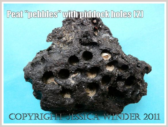 Piddock bore holes in a peat pebble: Close-up of rounded and water-worn piece of peat with holes excavated by bivalve molluscs such as piddocks, from Whiteford Sands, Gower, West Glamorgan (2)