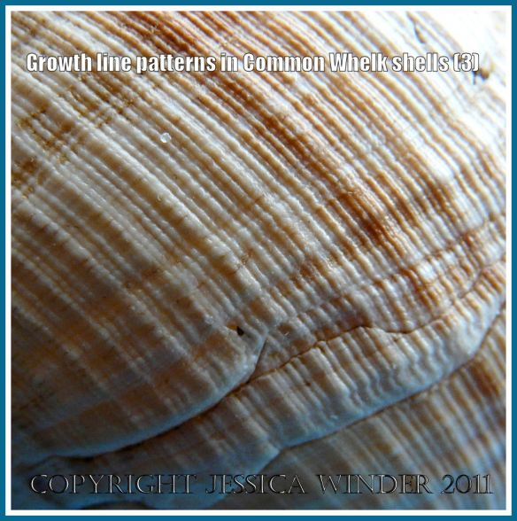 Whelk shell detail: Close-up detail of the pattern on a Common Whelk shell (Buccinum undatum Linnaeus) showing the striations intersected at right angles by the growth lines (3)