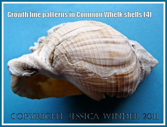Regrowth in a damaged whelk shell: Shell of a Common Whelk (Buccinum undatum Linnaeus) showing growth lines and healing after damage to the shell aperture margin (4)
