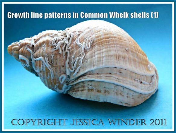 Growth lines in the Common Whelk shell: Common Whelk shell, Buccinum undatum Linnaeus, showing growth lines and attached calcareous worm tubes - Lateral view (1)