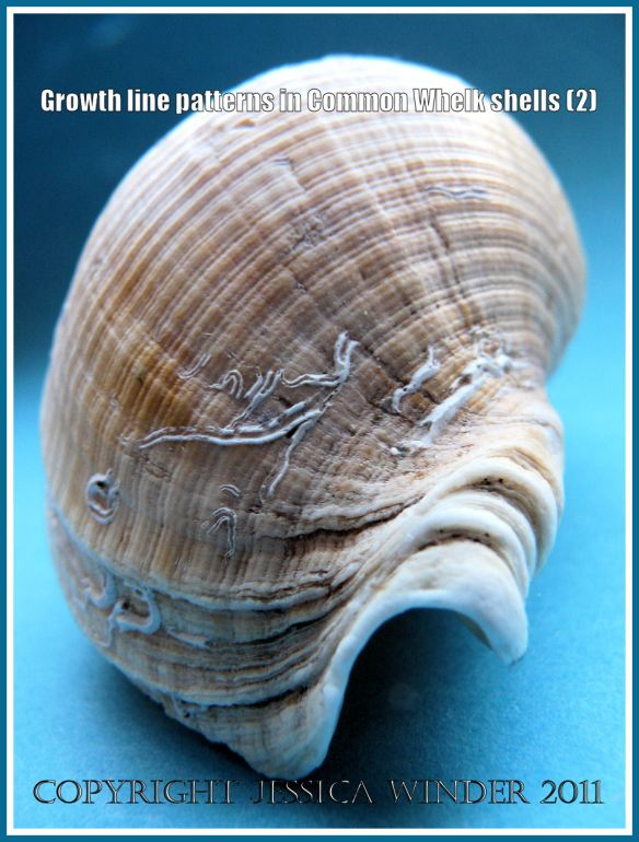 Gastropod shell growth lines: Shell of the Common Whelk (Buccinum undatum Linnaeus) showing growth lines - End-on view (2)