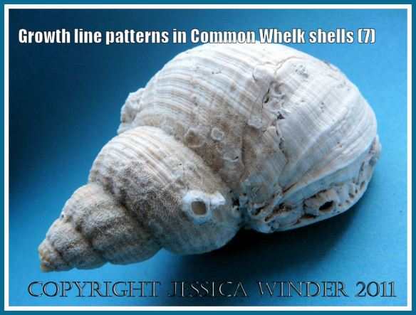 Common Whelk shell: The shell of a Common Whelk shell (Buccinum undatum Linnaeus) showing the apex, spire, and body whorl with natural ornamentation of ribs, striations, and growth lines (7)