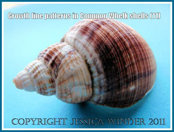 Empty Common Whelk shell (Buccinum undatum Linnaeus) showing growth lines, ornamentation, and natural brown colouring (11)