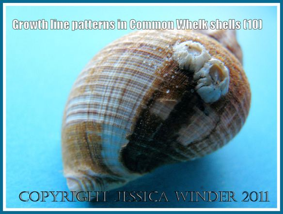 Gastropod periostracum remants on young whelk shell: Growth line patterns on a Common Whelk shell (Buccinum undatum Linnaeus) still partially covered with the thin brown horny periostracum (10)
