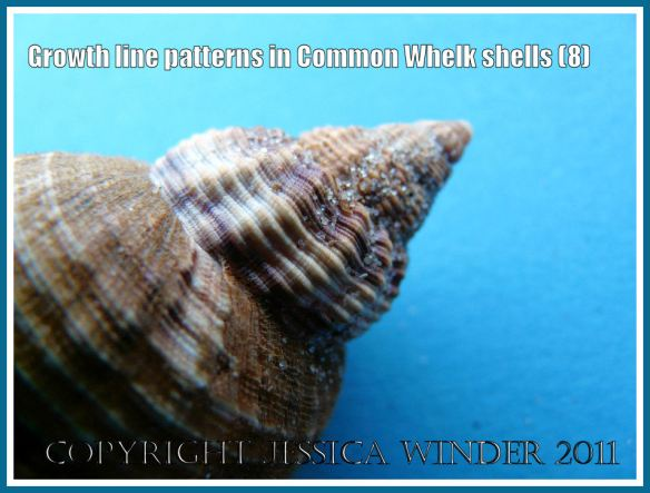 Close-up image of the spire texture in a young common whelk shell: The spire of a Common Whelk shell (Buccinum undatum Linnaeus) showing the coarse thick ribs, fine ridges and grooves, and growth lines freshly revealed from beneath the brown papery periostracum layer (8)