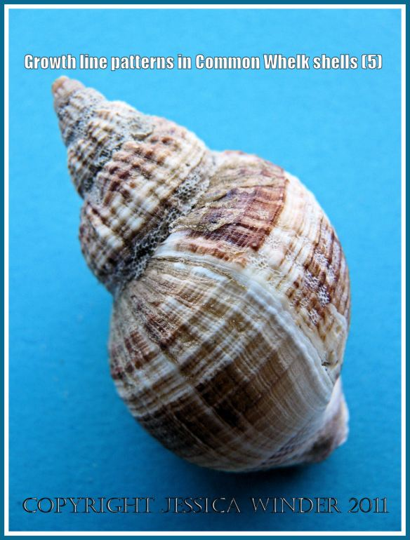 Colour banding and growth lines in common whelk shell: Shell of a Common Whelk (Buccinum undatum Linnaeus) showing growth lines, striations, ribs, and natural colour banding (5)