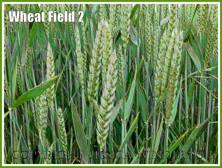 Wheat Field 2 - Wheat growing in an English field in May - a digitally modified photograph.