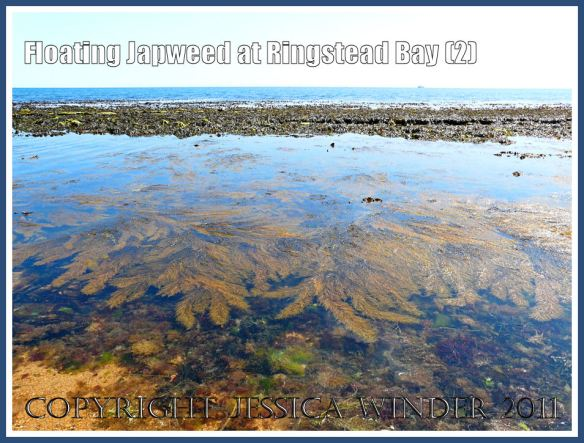 Japweed (Sargassum muticum) floating in calm shallow water near the shore at Ringstead Bay, Dorset, UK - part of the Jurassic Coast - on a hot summer's day (2)