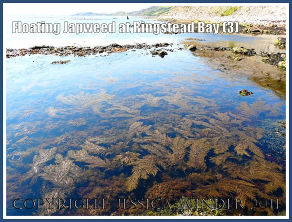 Japweed at Ringstead Bay: Fern-like fronds of Japweed (a seaweed species accidentally  introduced to Britain) floating at the surface in calm shallow water near the rocky shore at Ringstead Bay, Dorset, UK - part of the Jurassic Coast - on a hot summer's day (3)