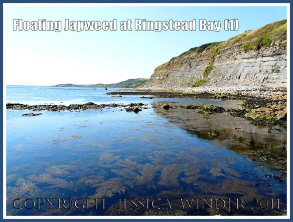 Japweed floating in the sea: Japweed floating in calm shallow water on a hot summer's day near the shore and cliffs at Ringstead Bay, Dorset, UK - part of the Jurassic Coast (1)