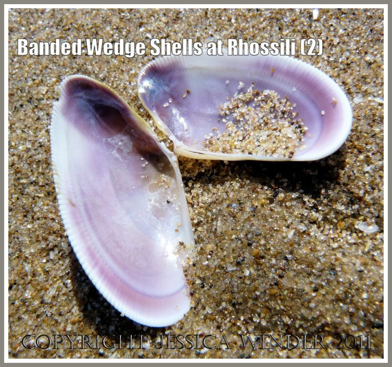 Banded Wedge Shells: Inner surface of paired valves of Banded Wedge Shell on the sand of Rhossili beach, Gower, South Wales.