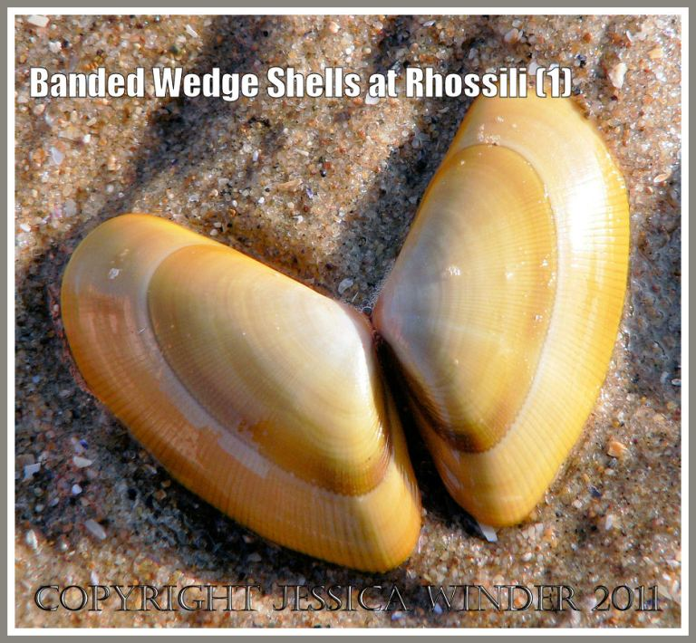 Banded Wedge Shells: Paired empty valves of Banded Wedge Shell on sand at Rhossili, Gower, South Wales, U.K. (1)