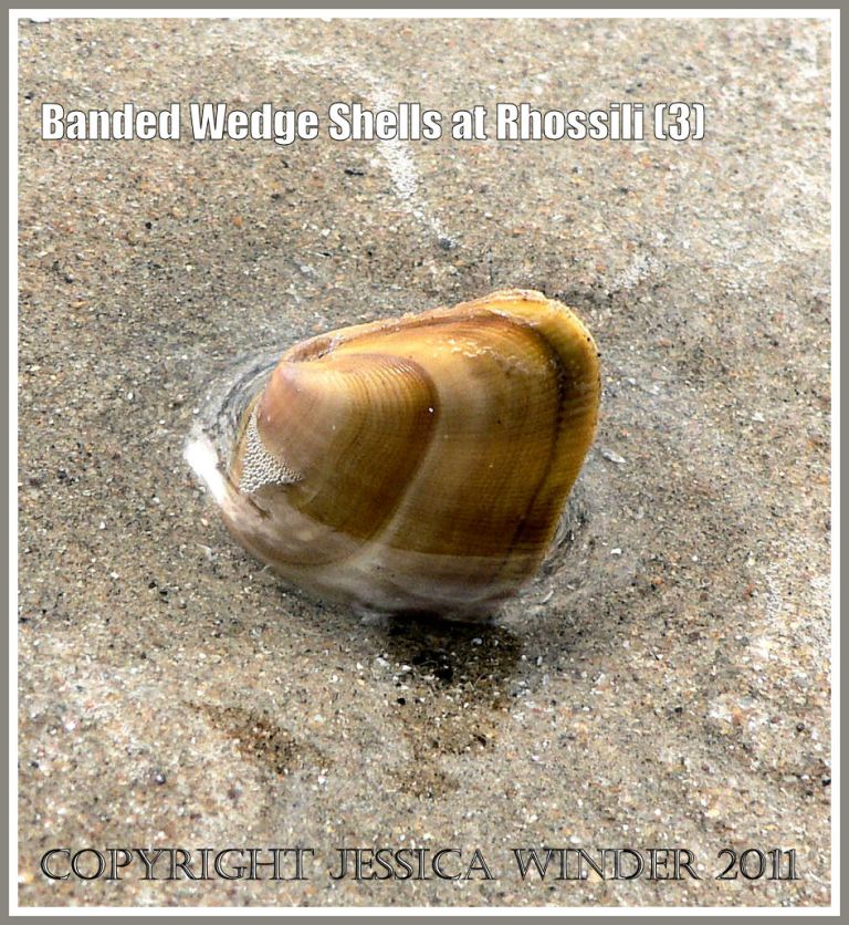 Banded Wedge Shell: A living Banded Wedge Shell part-buried in wet sand at low tide level at Rhossili, Gower, South Wales.