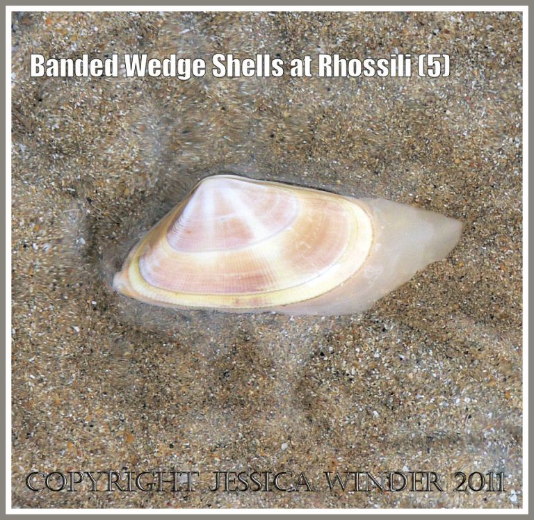Live Banded Wedge Shell on sand: A living Banded Wedge Shell, Donax vittatus (da Costa), with fleshy foot and siphons partially extended, in surface water on sand at Rhossili, Gower, South Wales, U.K. (5)