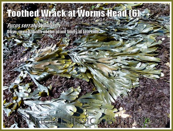 Toothed Wrack and Coral Weed growing together: Olive-green Toothed Wrack, Fucus serratus Linnaeus, growing among purple Coral Weed, Corallina officinalis Linnaeus, exposed at low tide on the lower shore at Worms Head Causeway, Gower, South Wales, UK (6)