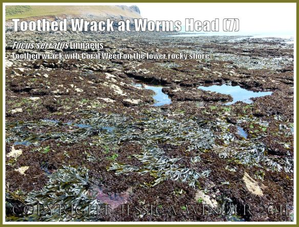 Common British seaweeds of the lower rocky shore: Toothed or Serrated Wrack, Fucus serratus Linnaeus, on the lower rocky shore with other common British seaweeds, exposed by a very low tide at Worms Head Causeway, Gower, South Wales, UK (7)