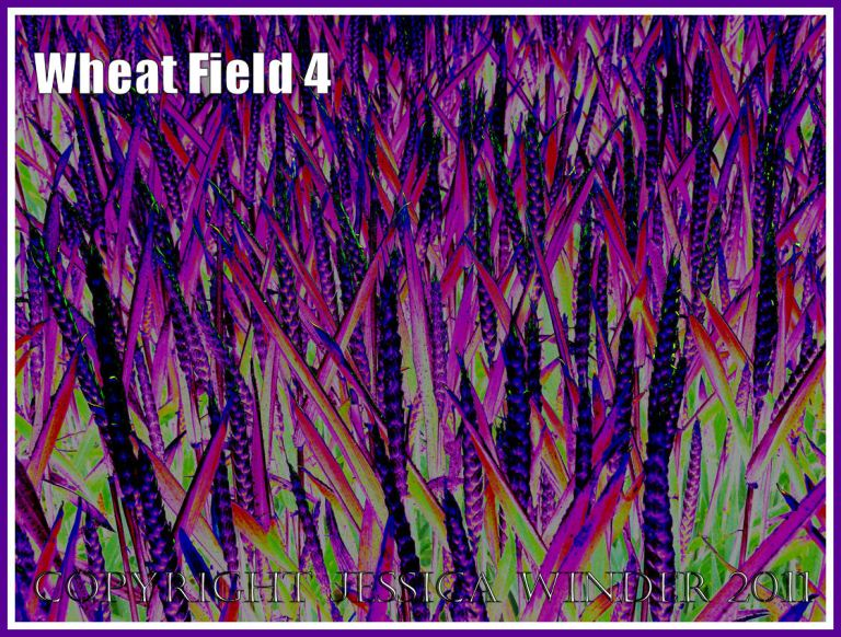 Wheat Field - a digitally altered photograph (4)