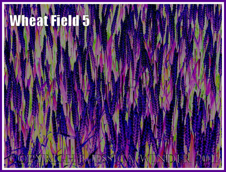 Wheat Field - a digitally altered photograph (5)