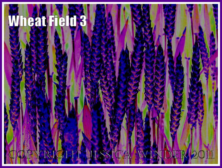 Wheat Field - a digitally altered photograph (3)