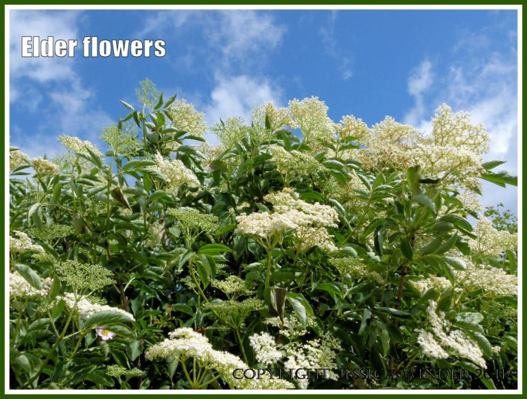 Elder flowers in great profusion against a blue summer sky with wispy white clouds