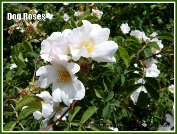 Delicate pale pink flowers of a Dog Rose gleaming in summer sunshine in a hedgerow.