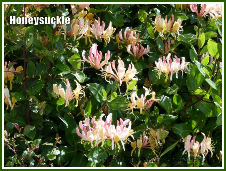 Honeysuckle flowers growing in a hedgerow