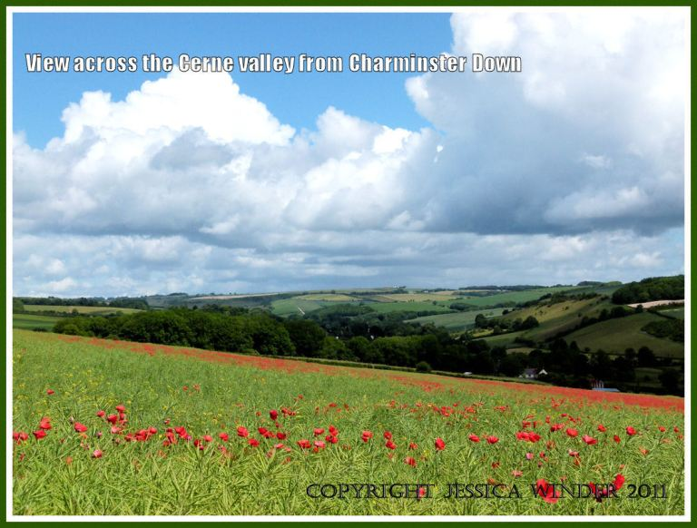 View across the Cerne Valley from Charminster Down, showing red poppies in a field of oil-seed rape.
