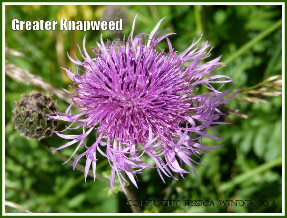 Greater Knapweed flower with spikey purple-pink petals in a hedgerow.