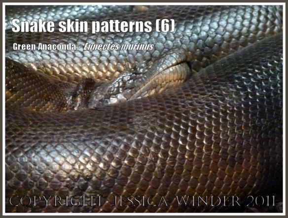 Pattern of scales on snake skin: Gleaming scaled skin on the sleeping coils of a Green Anaconda, Eunectes murinus, from South America (6)