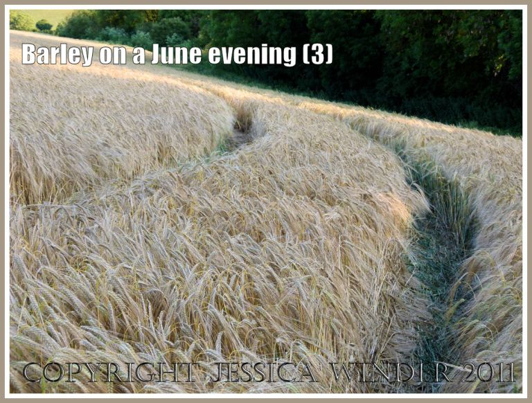 Ripening barley lit by the late evening June sun in the fields around an English village (3)