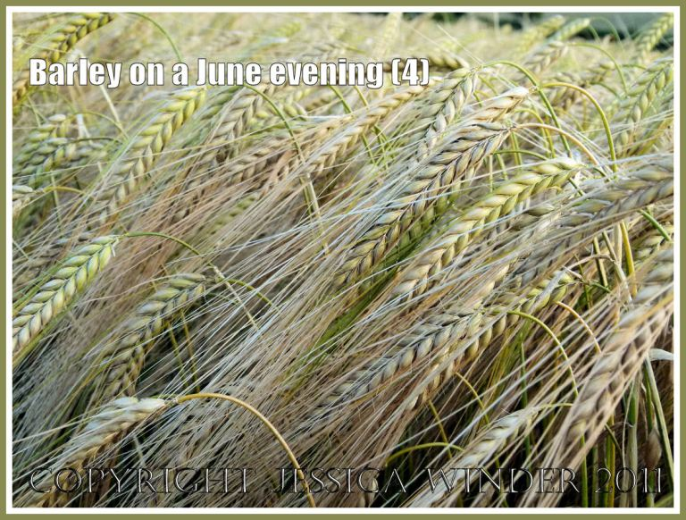 Ripening barley lit by the late evening June sun in the fields around an English village (4)