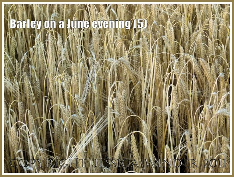 Ripening barley ready for harvesting in the fields around an English village (5)