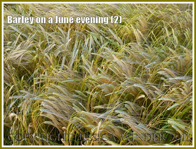 Ripening barley lit by the late evening June sun in the fields around an English village (2)