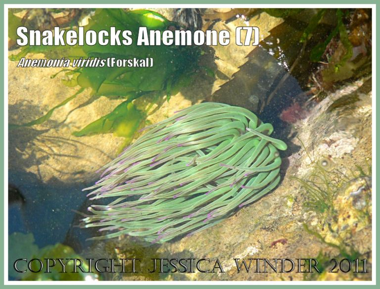 Green sea anemone on rock pool: Snakelocks Anemone with tentacles neatly aligned by the flow of the retreating wave in a sun-lit rock pool with green seaweed at Ringstead Bay, Dorset, UK - part of the Jurassic Coast (7)